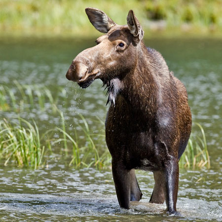 Moose facts for kids naturemapping photo by natures pics thecheapjerseys Gallery