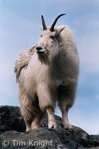 Mountain Goat photo by Tim Knight