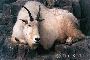 Mountain Goat photo by TK