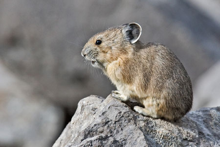 Pika photo by Natures Pics