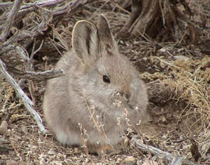 pygmy rabbit photo