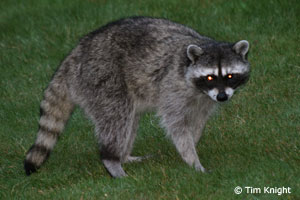 Raccoon photo by Tim Knight