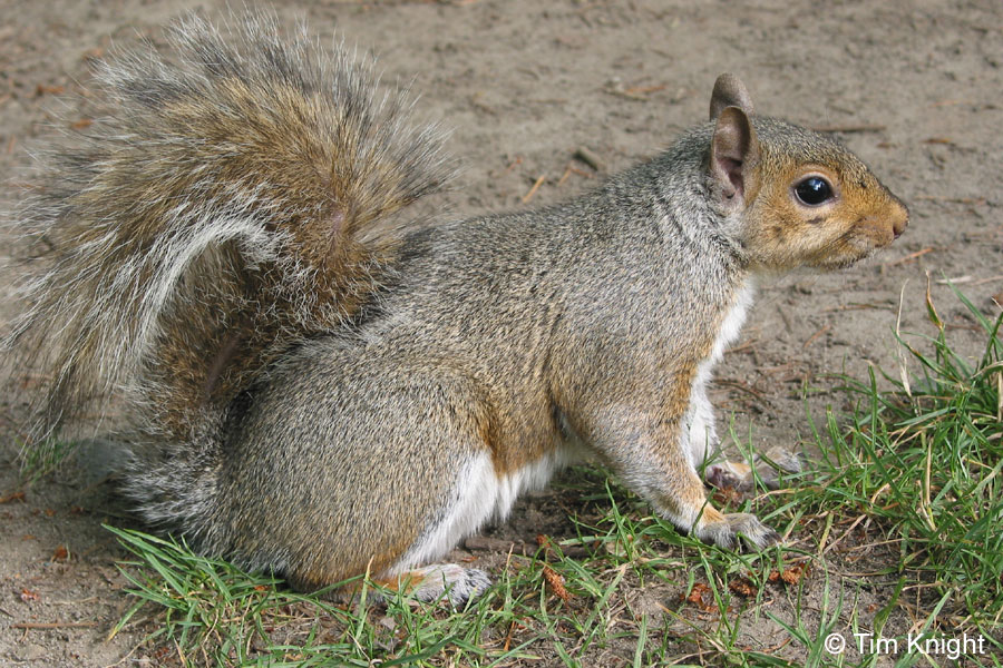 Eastern Gray Squirrel Facts for Kids - NatureMapping
