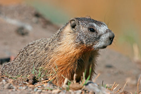 Yellow-bellied marmot photo by Natures Pics