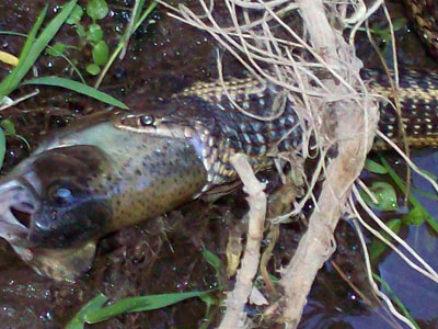 Naturemapping reptile species identification for Snake eating fish