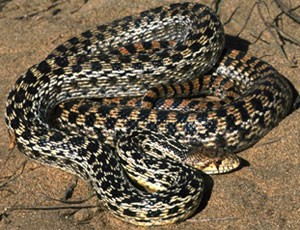 Gopher Snake by Chris Brown, USGS