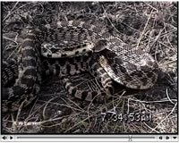 Gopher Snake video