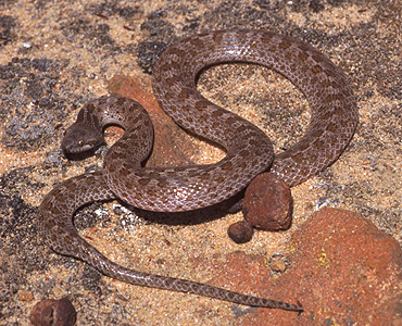 Night Snake Facts - NatureMapping