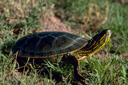 painted turtle photo