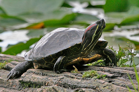 Painted turtle - by Alan Wilson