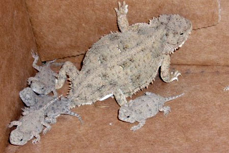 short-horned lizard babies and mom