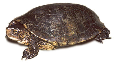 western pond turtle photo